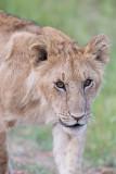 1DX11119  - Lion cub