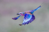 1DX12071 - Lilac Breasted Roller