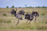 1DX12233 - Running Ostriches