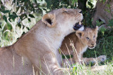 1DX12527 - Lion cub with mother