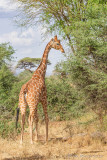 M4_11359 - Reticulated Giraffe