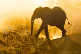 M4_10918 - Elephant Silhouette at Sunrise
