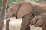 1DX_6452 - Baby elephant nursing