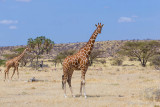M4_11298 - Reticulated Giraffes