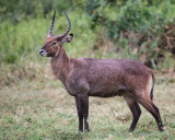 1DX_8115 - Waterbuck
