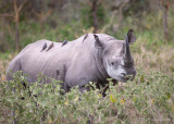 1DX_8210 - Black Rhino