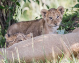 1DX12420 - Lion Cubs