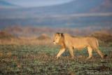 1DX12986 - Lion