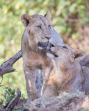 1DX_8535 - Lions