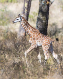 1DX_8774 - Young Rothschild Giraffe