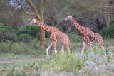 M4_11525 - Rothschild Giraffes