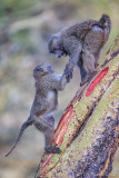 1DX_8425 - Baboons