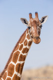 1DX_7293 - Reticulated Giraffe