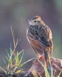 1DX11488 - Crested Lark
