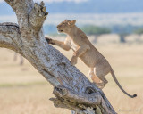 1DX11676 - Lion climbing tree