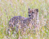 1DX11830 - Cheetah in the grass