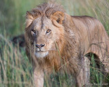 1DX_9995  - Approaching Lion