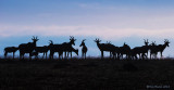 1DX13001 - Topi Herd - Early Morning Silhouette