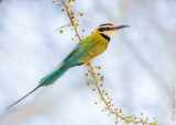 1DX_7523 -  Bee Eater