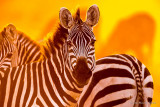 1DX_5910 - Zebra at Sunrise