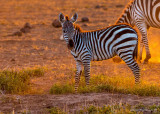 1DX_5923 - Backlit Zebra at Sunrise