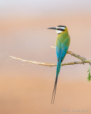 1DX_6602 - Bee Eater