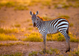 1DX_5927 - Young Zebra
