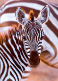 1DX_5911 - Young zebra