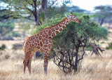 1DX_6804 - Reticulated Giraffe
