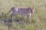 M4_12049 - Lion
