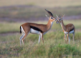 1DX_6008 - Thompson Gazelles