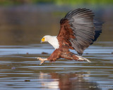 1DX_9515 - African Fish Eagle