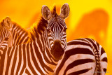 1DX_5910 - Zebras at Sunrise