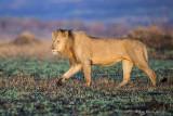 1DX_12985 - Lion at Maasai Mara