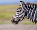 1DX_4255 - Zebra headshot