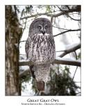 Great Gray Owl-062