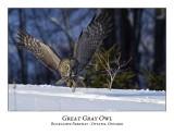 Great Gray Owl-063