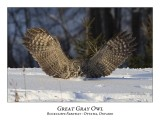 Great Gray Owl-064