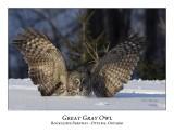 Great Gray Owl-065