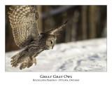 Great Gray Owl-066