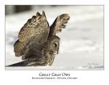 Great Gray Owl-067
