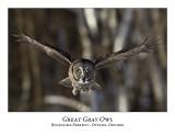 Great Gray Owl-069