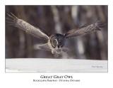 Great Gray Owl-070