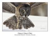 Great Gray Owl-071