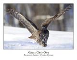 Great Gray Owl-073