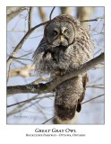 Great Gray Owl-074