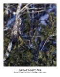 Great Gray Owl-075