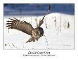 Great Gray Owl-078
