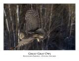 Great Gray Owl-081