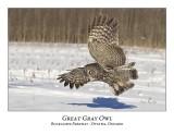 Great Gray Owl-082